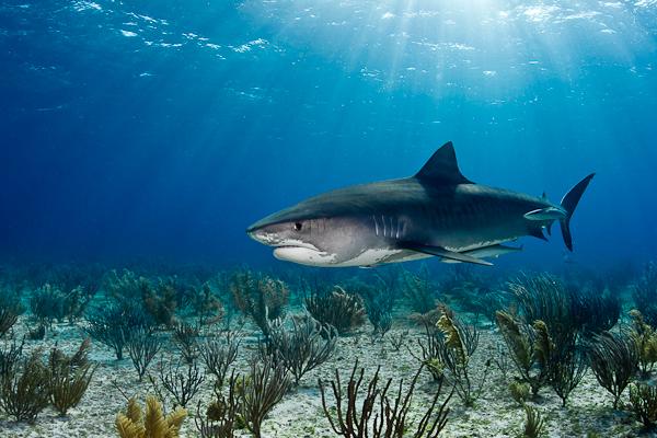 Tiger Shark in Sunrays