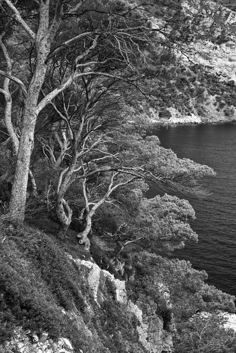 Mediterranean Pines