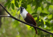 Three-wattled Bellbird