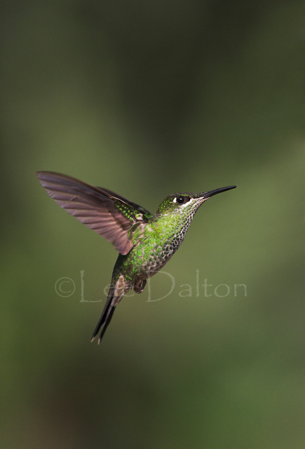 VIOLET-FRONTED BRILLIANT HUMMINGBIRD