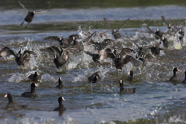Coot flock
