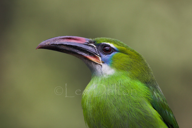 Groove-billed Toucanet