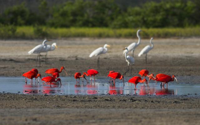 Scarlet Ibis & Egrets