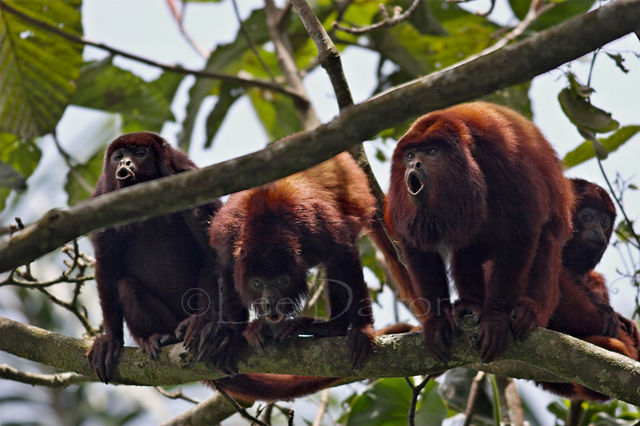 RED HOWLERS