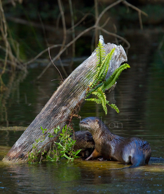 North American River Otters
