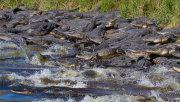 'Deep hole' alligators