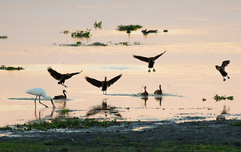 africano spoonbill and ducks