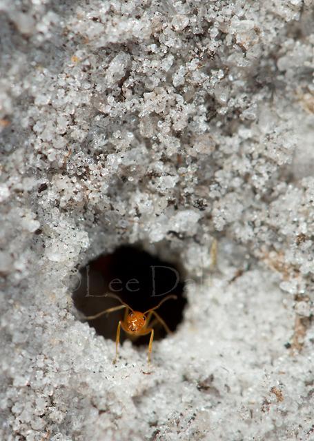 Pyramid Ant