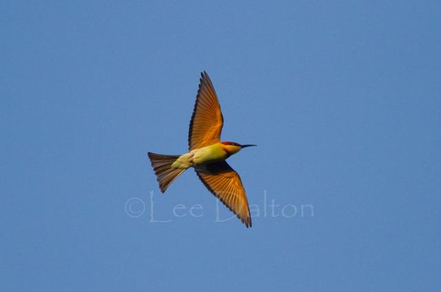 Chestnut headed Bee-eater