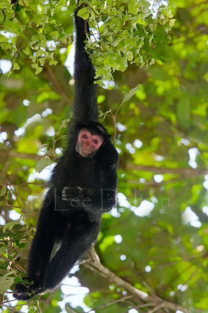 Guianan black spider monkey