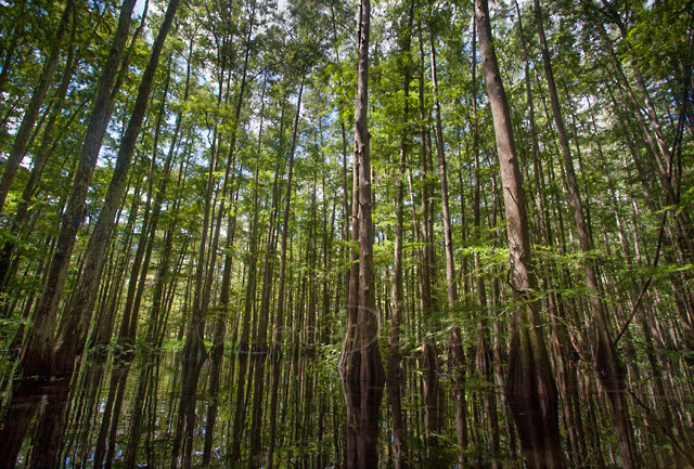 Flooded Bald Cypress forest