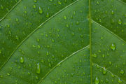 Rainforest leaf