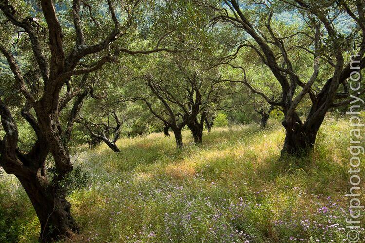 Olive trees - Crete