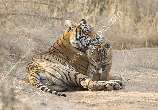 Tigress a mothers love