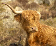 Arran Highland Cow