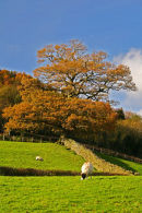 Coniston field and Trees in Autumn