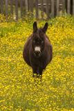 Hamilton Donkey