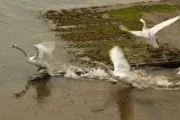 Lamlash Fighting Swans
