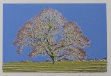 Tatton Oak