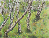 silver birchwood - coloured pencil