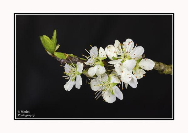 Damson Blossom (Prunus domestica)