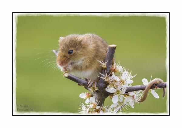 Harvest Mouse On Damson 2