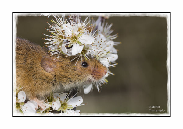 Harvest Mouse On Damson 3