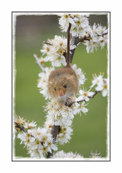 Harvest Mouse On Damson 4