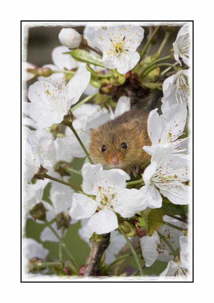 Harvest Mouse On Damson 5