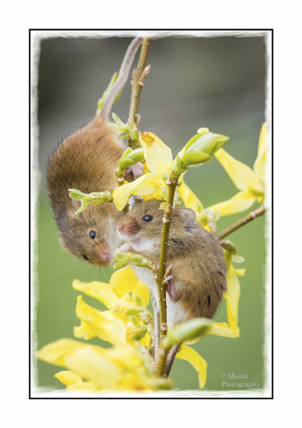 Harvest Mouse On Forsythia 2