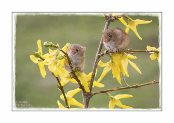 Harvest Mouse On Forsythia 3