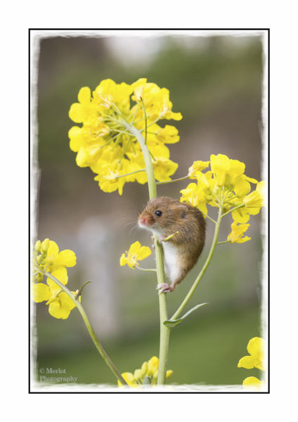 Harvest Mouse On Rape 1