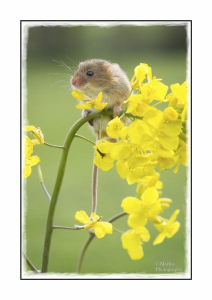 Harvest Mouse On Rape 2
