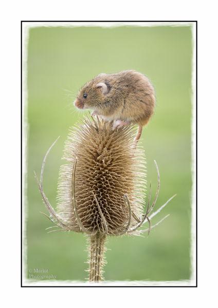 Harvest Mouse On Teasel 1