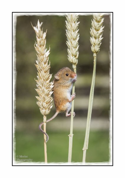 Harvest Mouse On Wheat 1