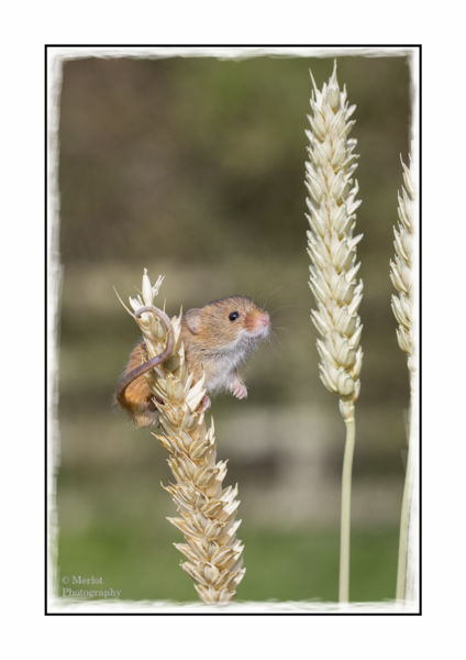 Harvest Mouse On Wheat 2