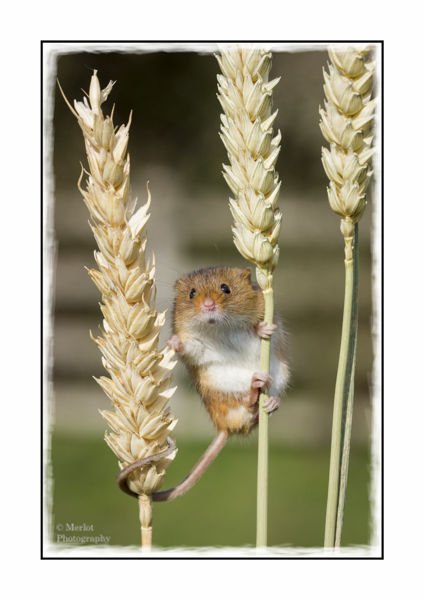Harvest Mouse On Wheat 3