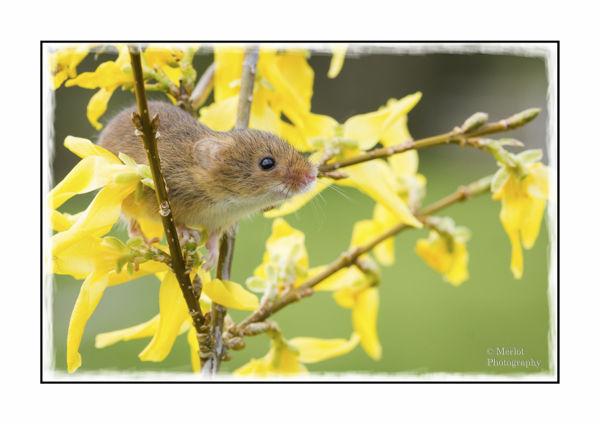 Harvest Mouse On Forsythia 1