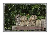Three Wise Chicks