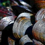 Myti Mussels