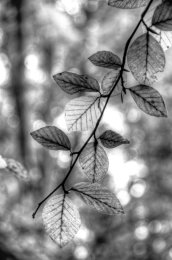 Amber Leaves B&W