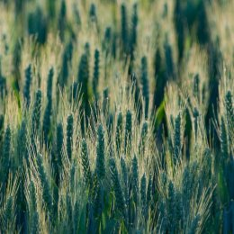 Evening Grain