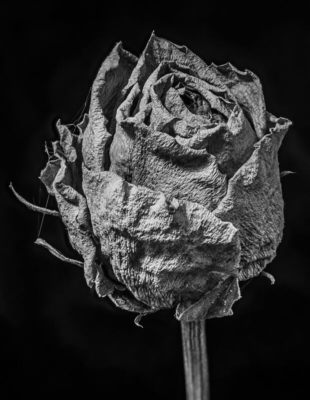 Decayed Rose