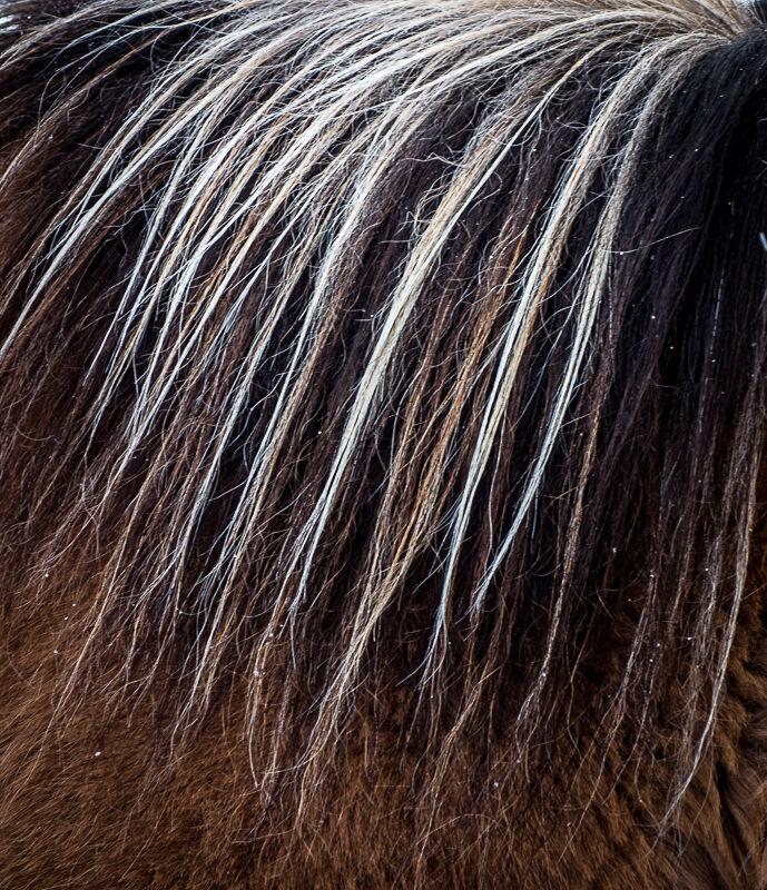 Pony Mane Iceland