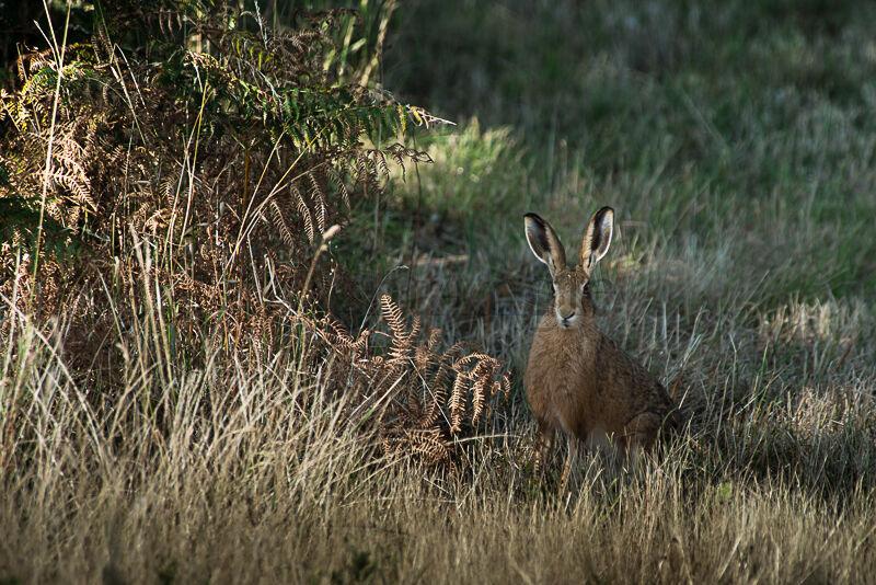 Brantham Hare