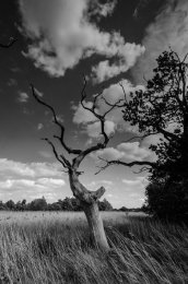 Snape Tree