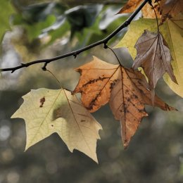 Autumnal Leaves 1