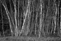 Tunstall Forest Silver Birch