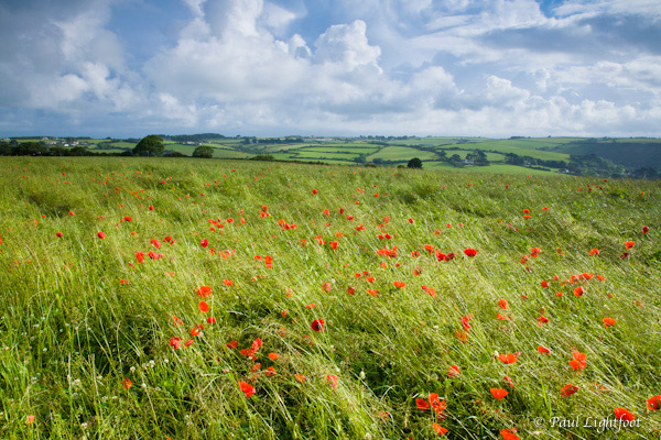Hayfield and poppies