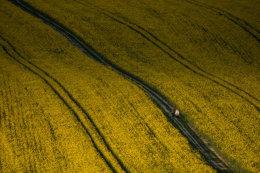 rapeseed carpet